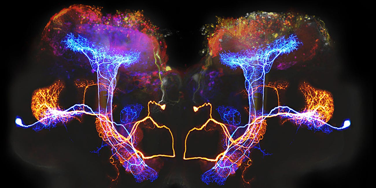Beta lobe neurons
