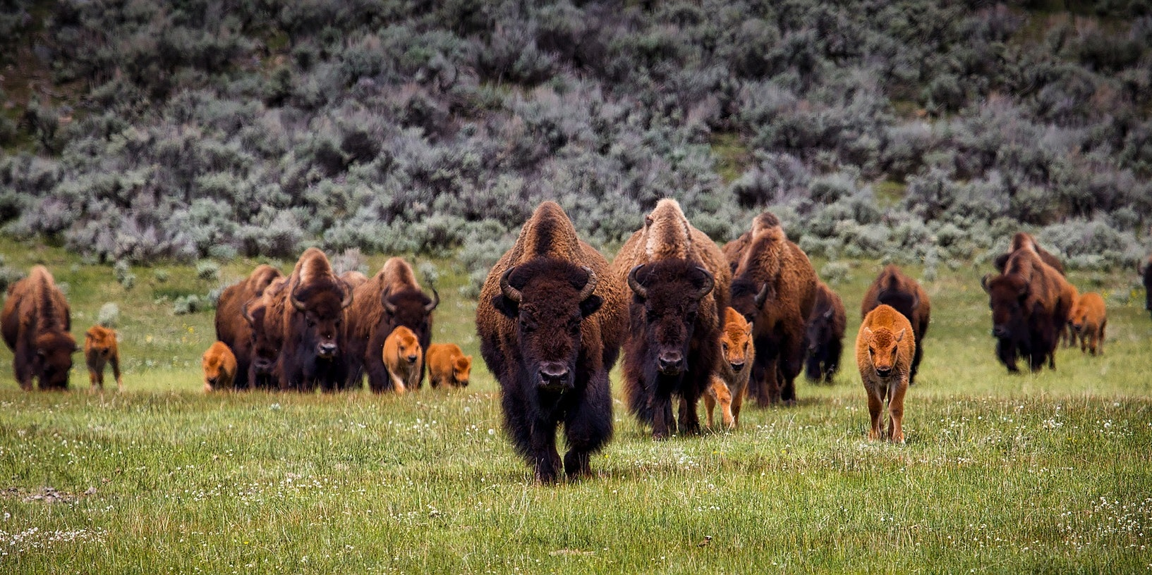 Once Doomed, America's Recovering Bison Are Saving US Ecosystems