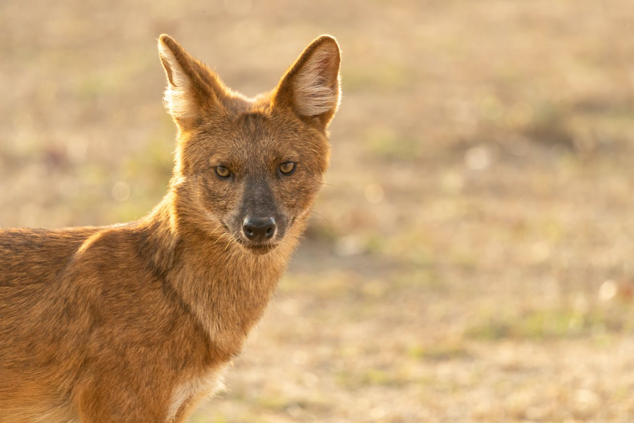 Dhole Indian wild dog