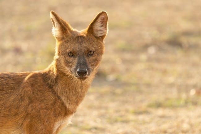 Dhole Indian wild dog