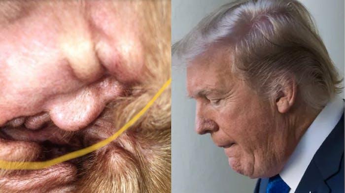 Donald Trump In My Dog S Ear