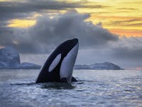 Killer whale surfacing at sundown off the coast of Northern Norway.
