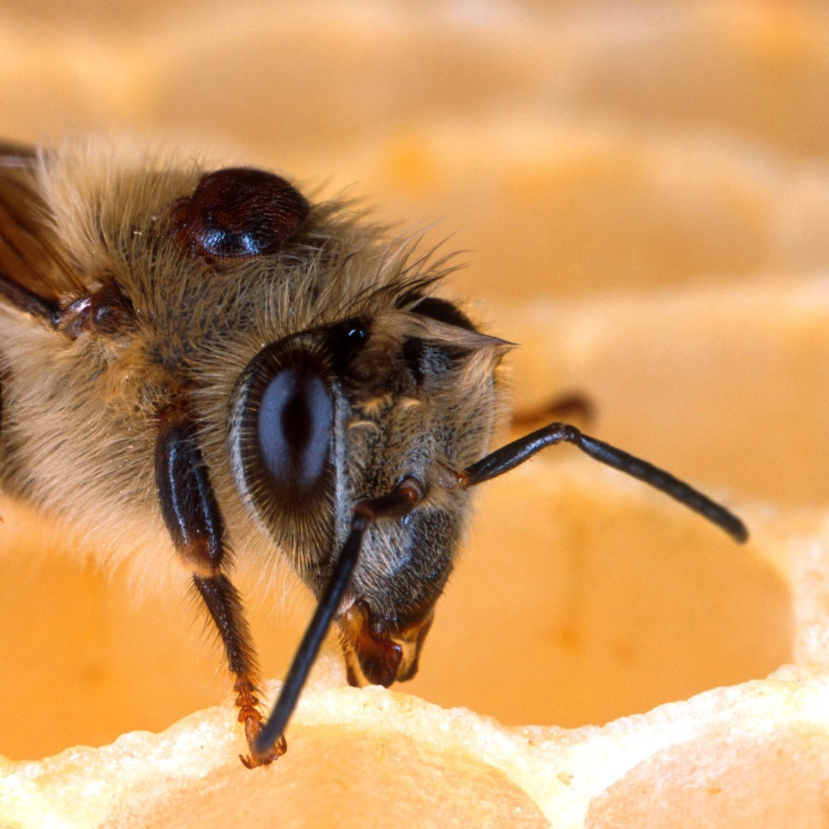 Global Honeybee Deaths Have Been Blamed on the Wrong Culprit All Along