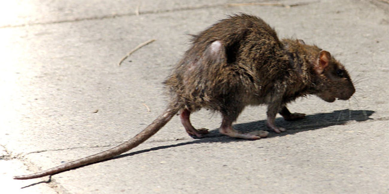 hepatitis e man in hong kong first to be infected with rat strain