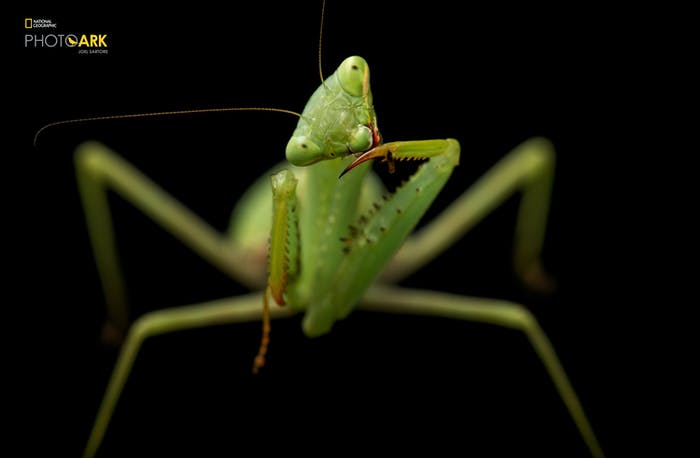 joel sartore the photo ark praying mantis