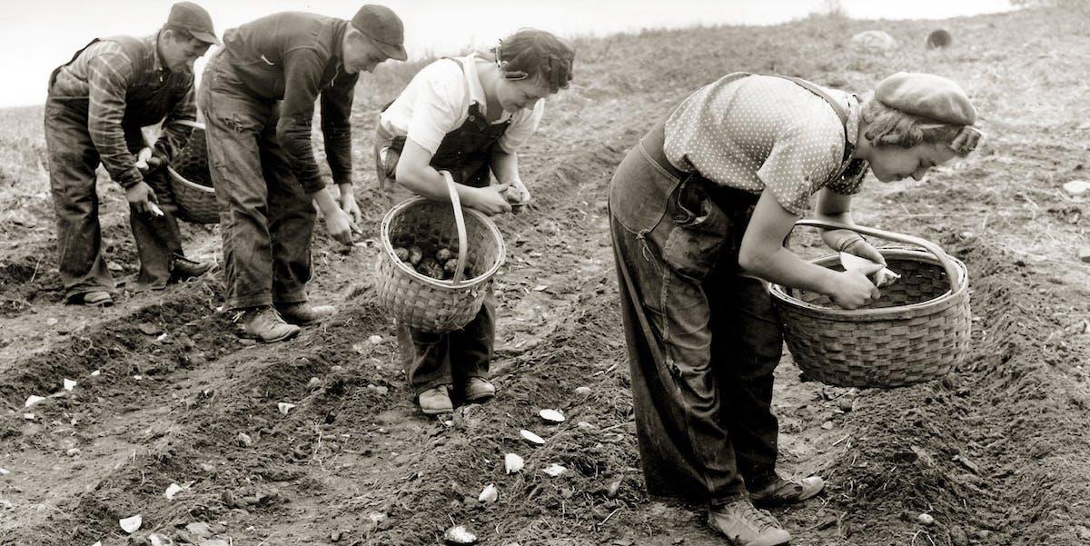 Potato planting circa 1940-50's