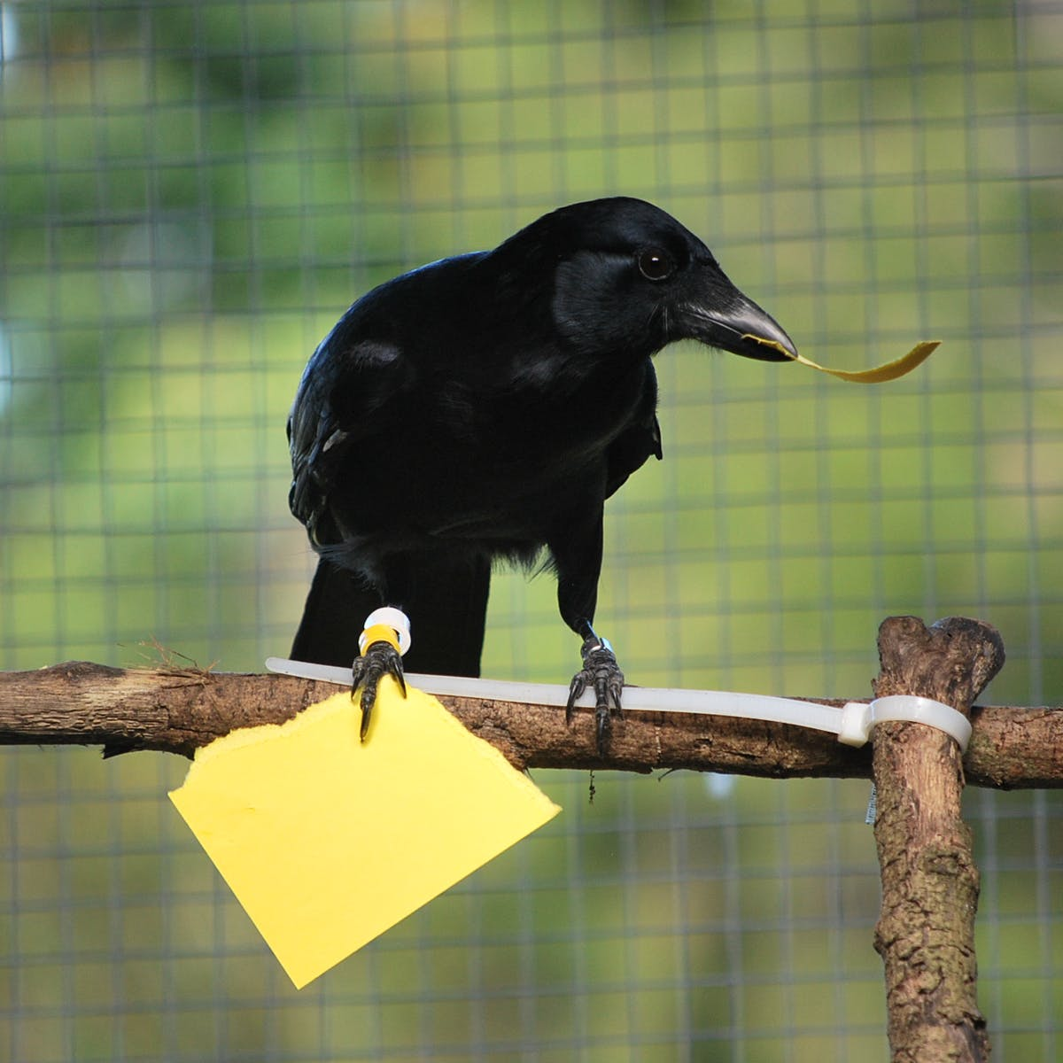 Man, Crows Are Even Smarter and Scarier Than We Thought