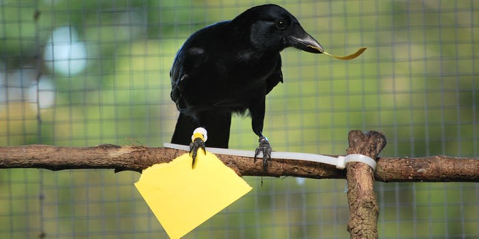 crow making a tool