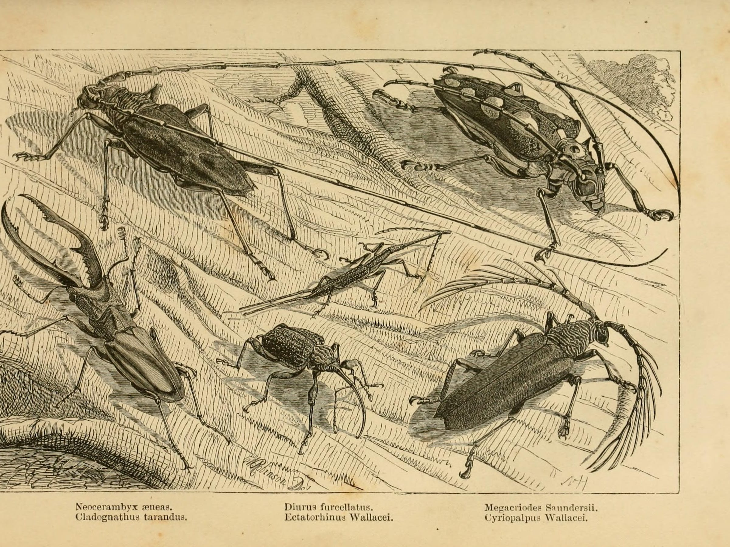 Some of the 'remarkable beetles' Wallace collected in Borneo.