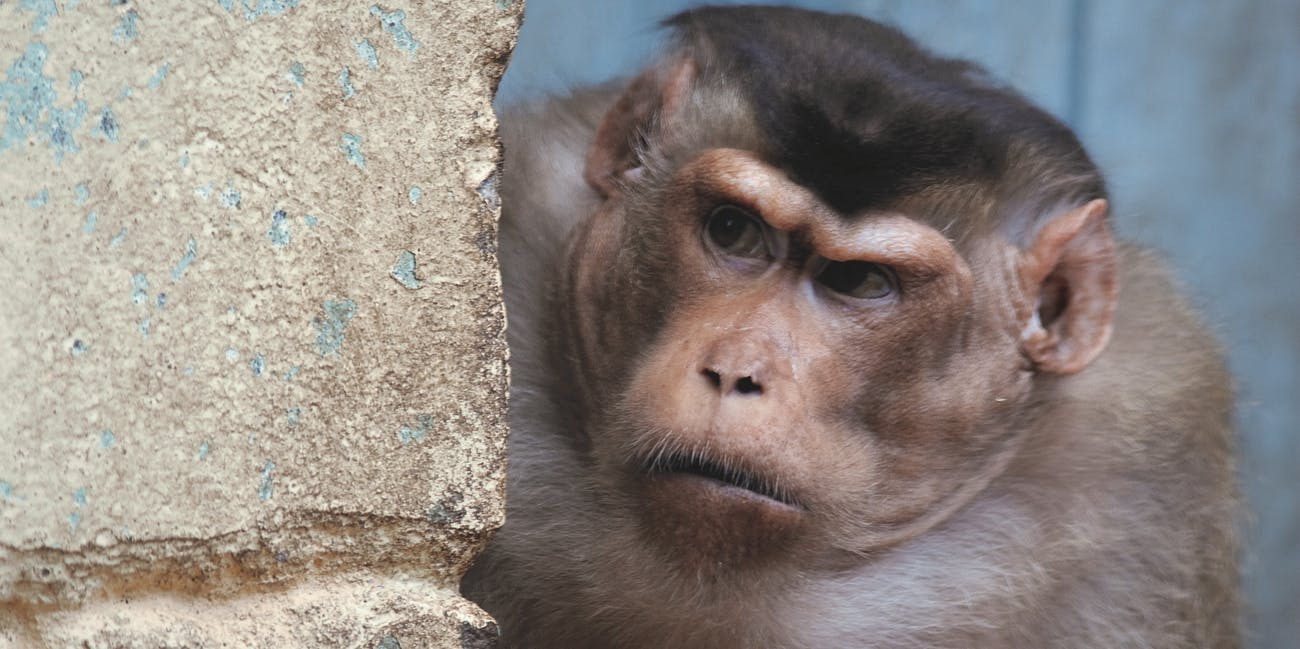 A pigtailed macaque.