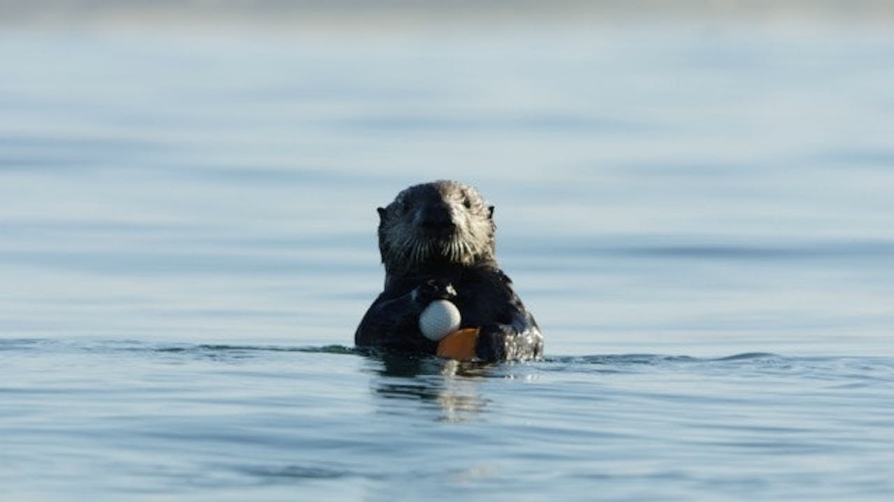 A sea otter holding a golf ball at one of our study sites.