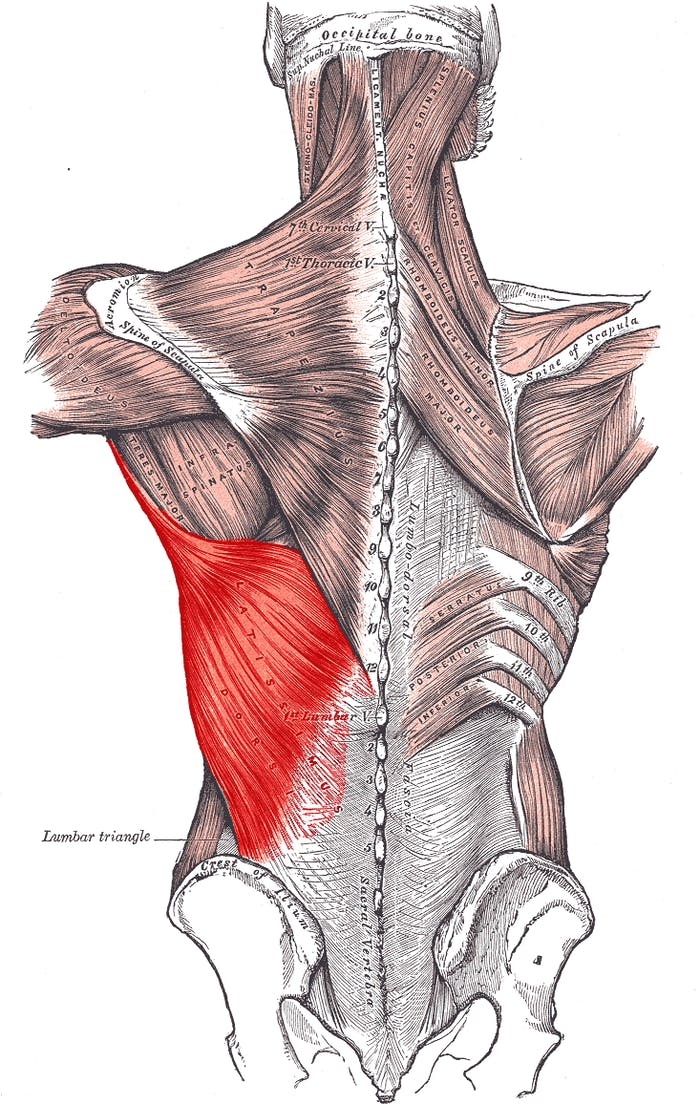 The latissimus dorsi is the back's largest muscle, anchoring the spine in place.