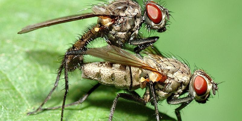 Fruit Fly Study Shows That Ejaculation Feels Good For -2478