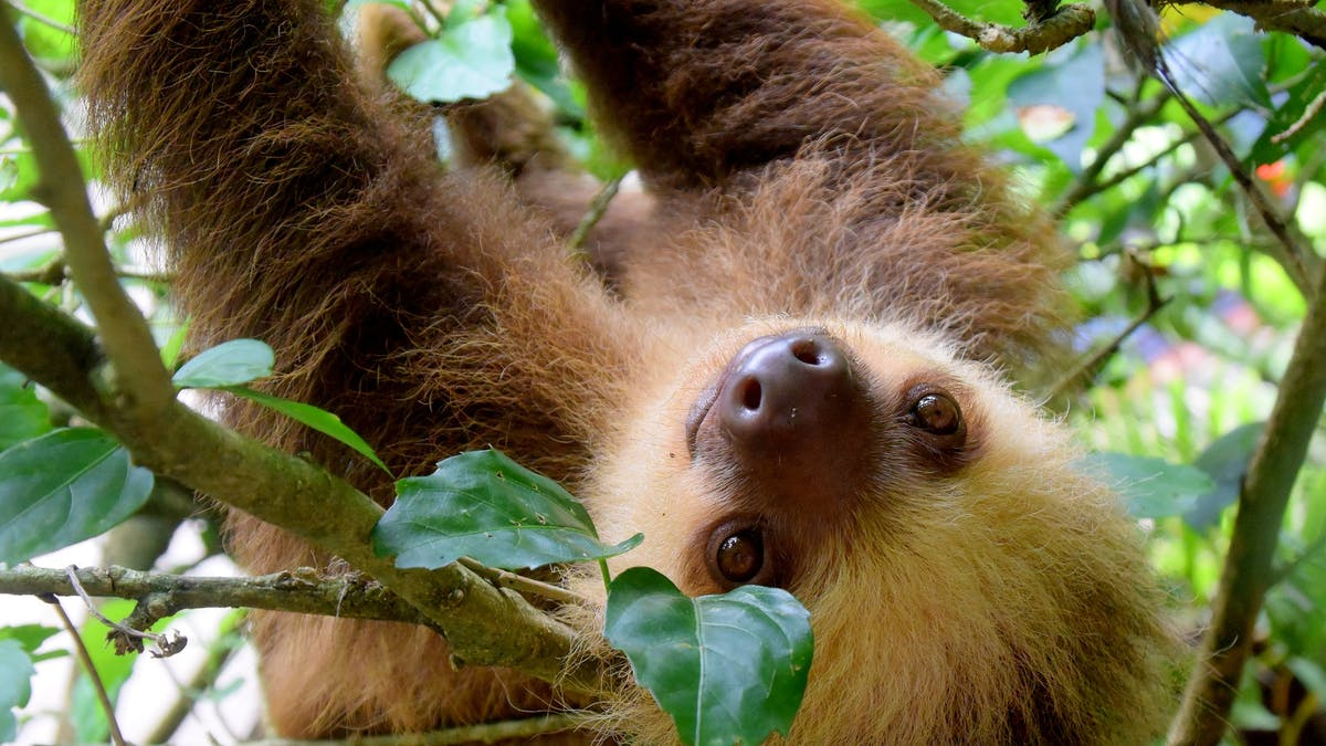Sloth Science: Why These Lazy Guys Are Far More Adaptable