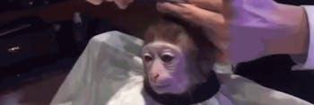 haircut monkey
