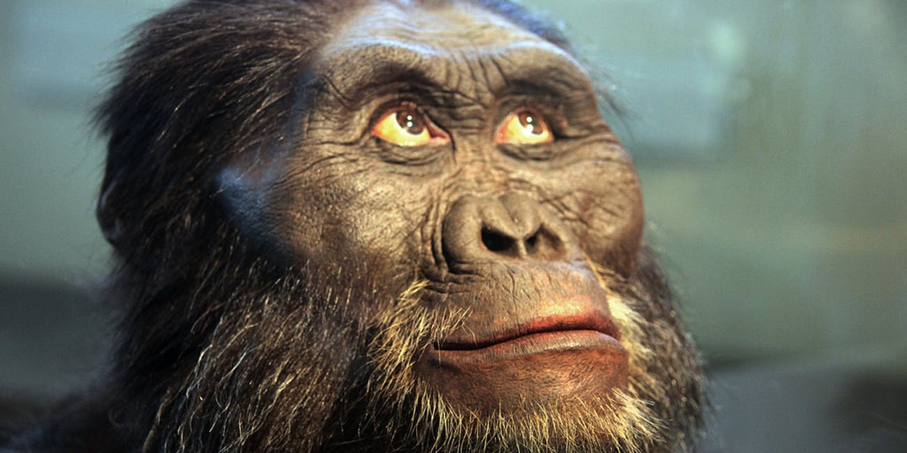 A reconstruction of the head of an Australopithecus afarensis -- a human ancestor -- on display in the Hall of Human Origins in the Smithsonian Museum of Natural History in Washington, D.C.