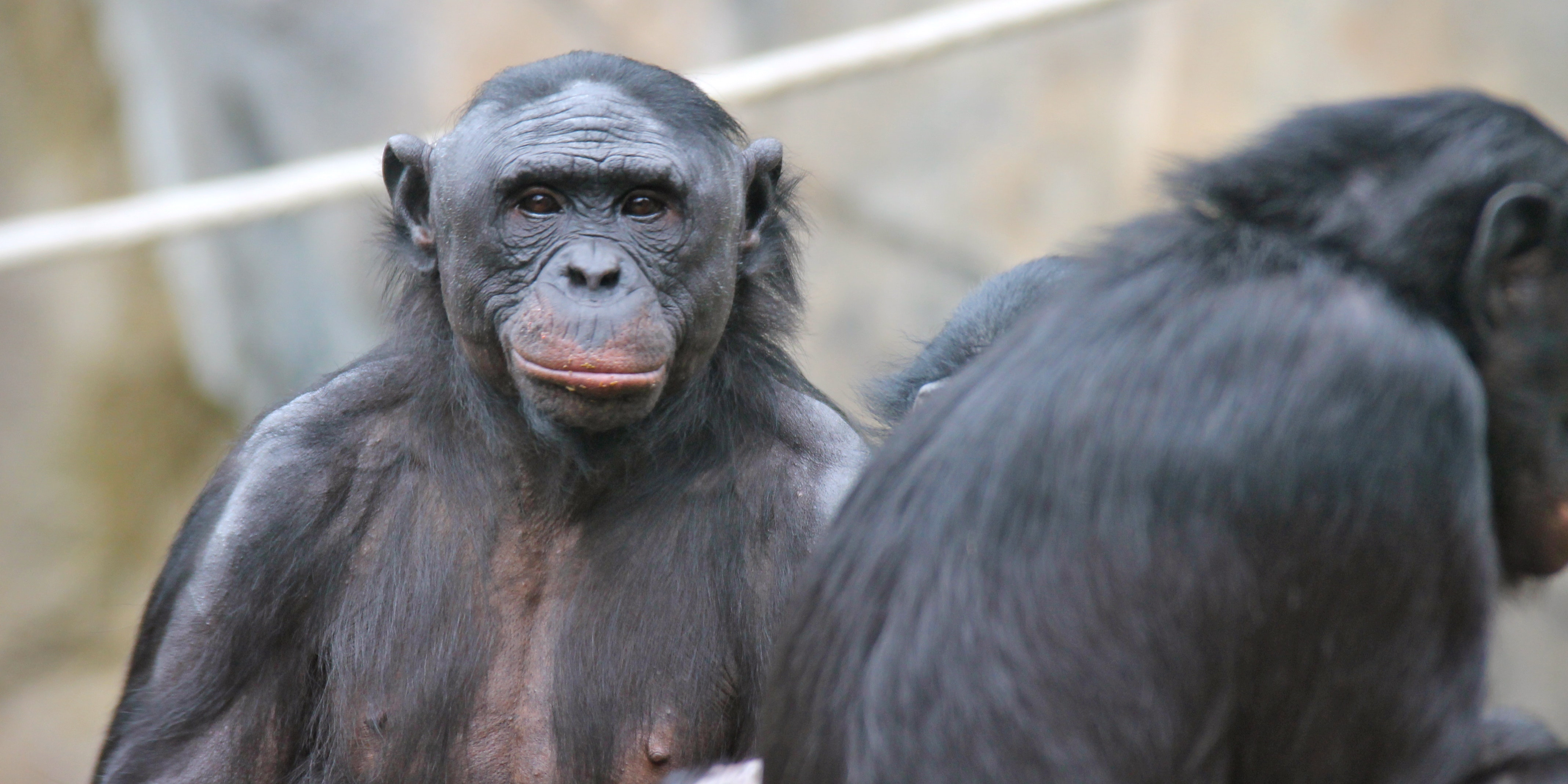 Bonobos, Nicest Primates on the Planet, Make Humans Look Like Monsters