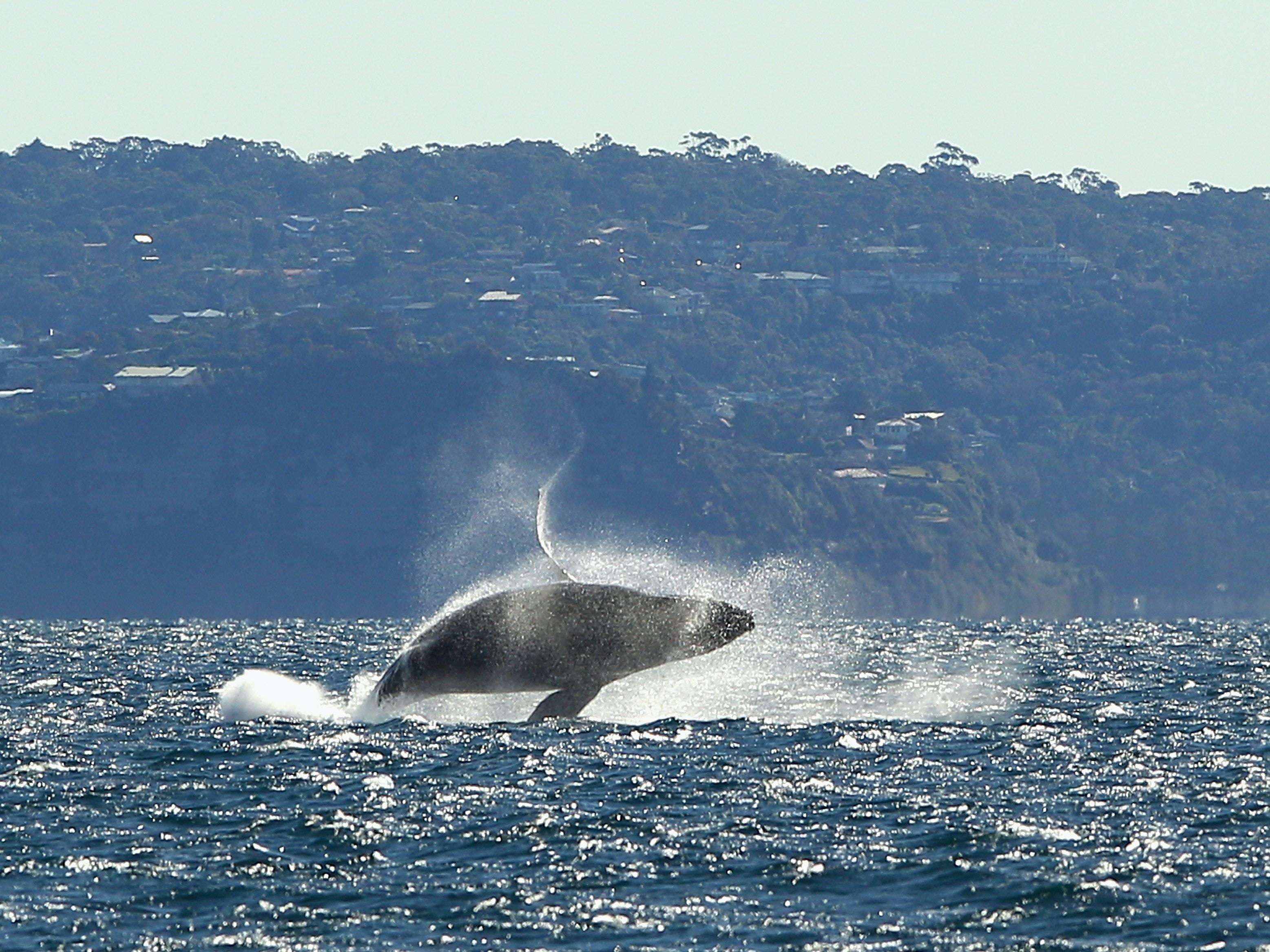 A humpback whale breaches near Sydney, Australia.
