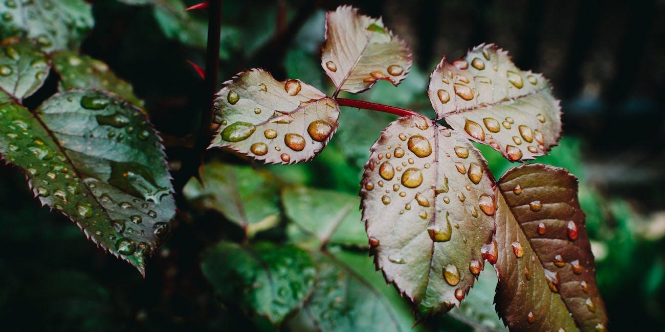 rain smell Petrichor plants bacteria