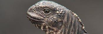 marine iguana hatchling
