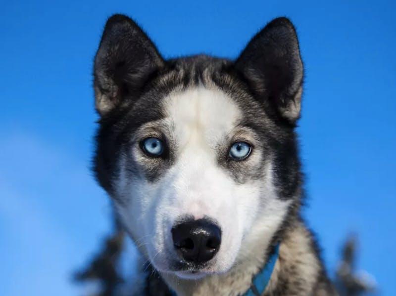 Husky, blue eyes