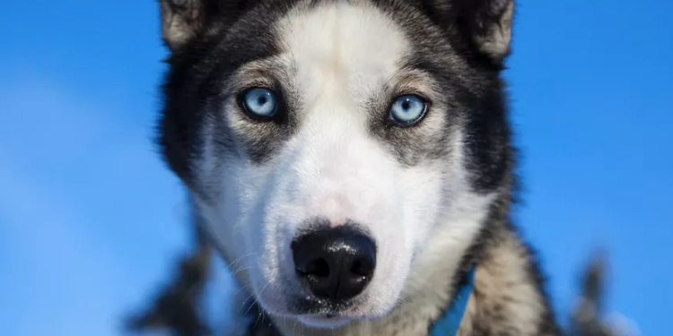 Why Do Siberian Huskies Have Blue Eyes Study Points To Chromosomes