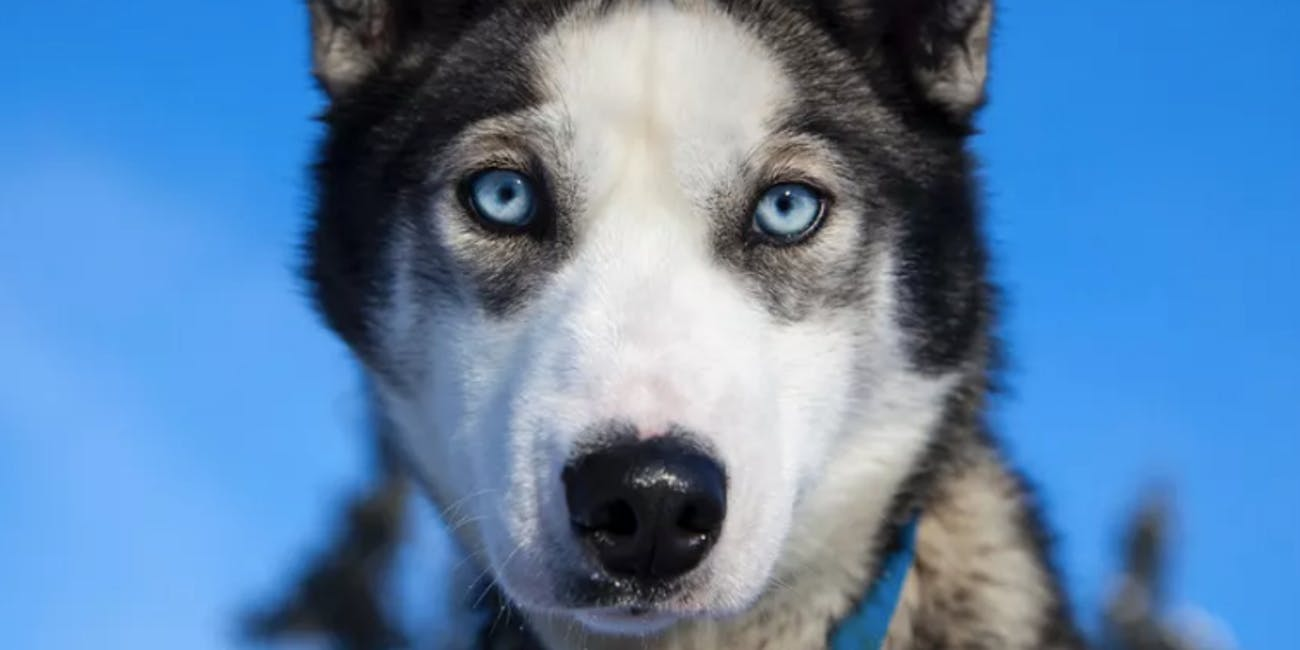 Why Do Dogs Have Blue Eyes