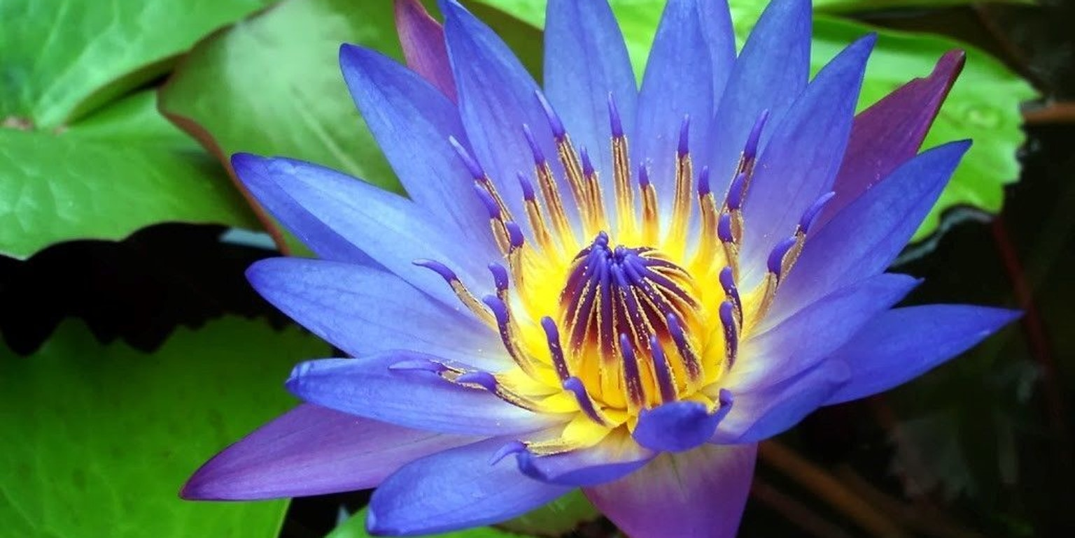 Blue Water Lilies Hold the Key to a Stunning, Different High