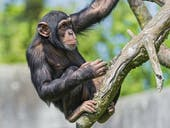Chimpanzee on the tree