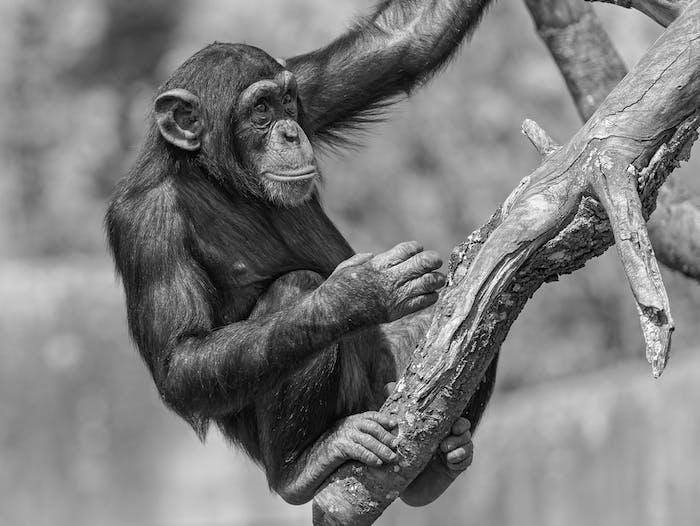 Chimpanzee on the tree