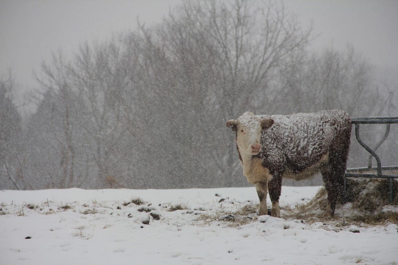 cattle snow