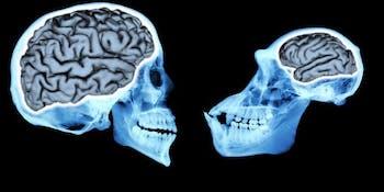 brain size, evolution