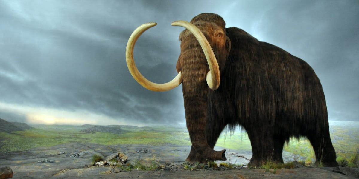 It's hard to avoid the conclusion that humans are to blame for the demise of the wooly mammoth.