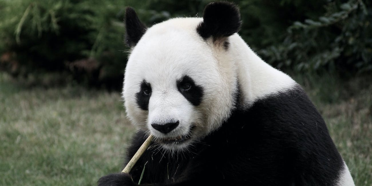 In conclusion, the giant panda is a land of contrasts.