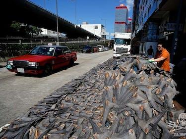 A shark fin worker dries shark fins on the street in Hong Kong