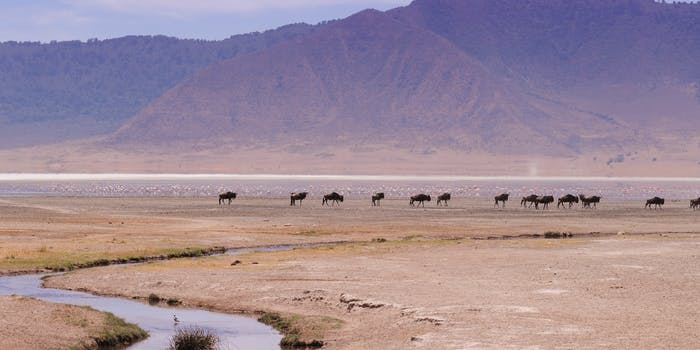 Blue Wildebeest around Soda Lake (Lake Magadi)