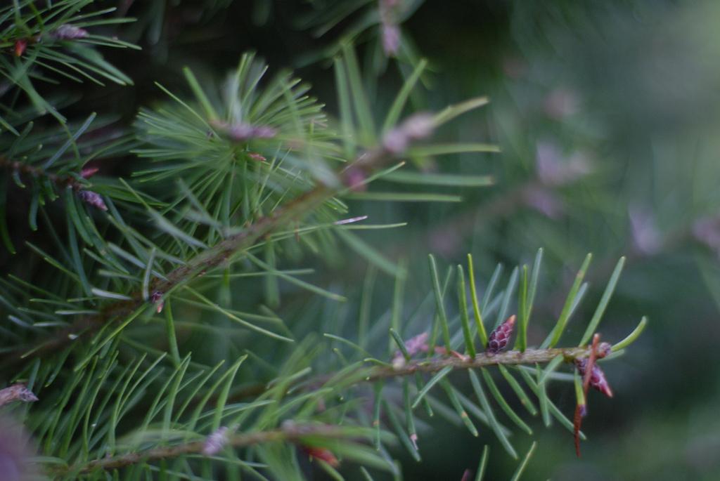 Close up of a Douglas fir.