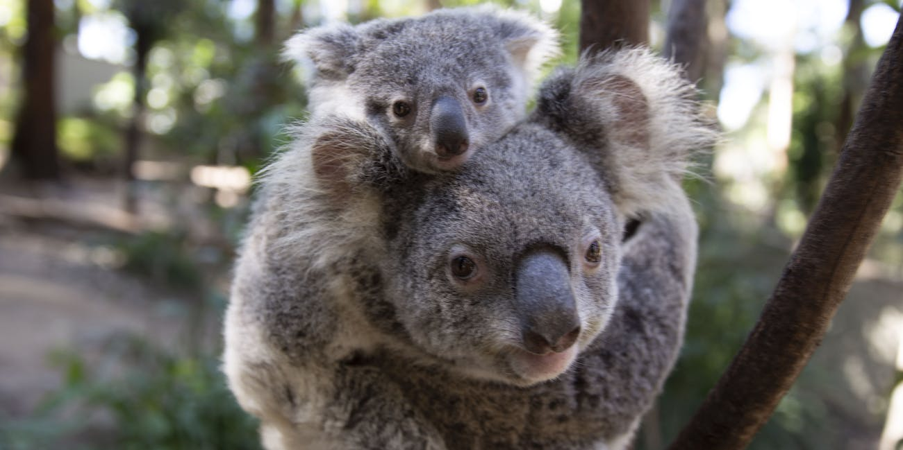 A creepy virus is forcing koalas to evolve before our eyes ...