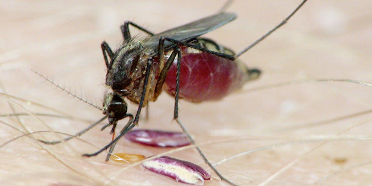 Aedes atlanticus mosquito