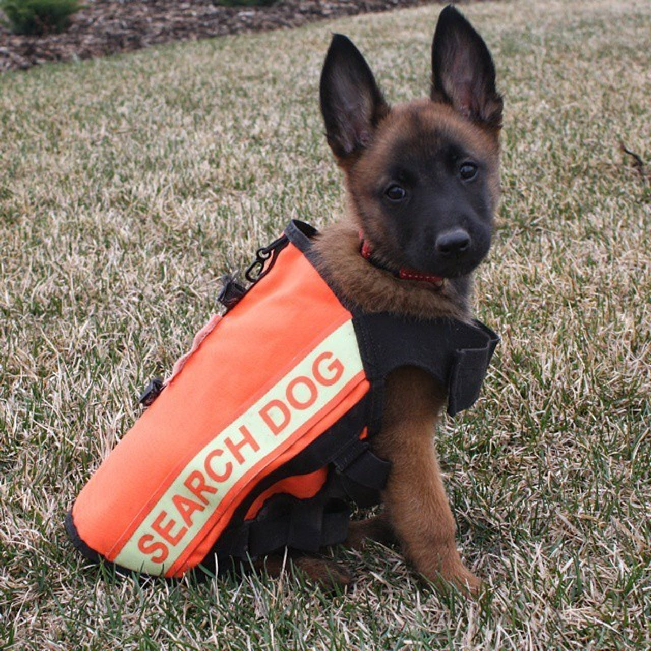 German Shepard cadaver dog working orange vest
