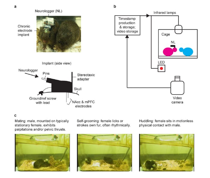 prairie vole neuroscience mating pair bond bonding figure brain science