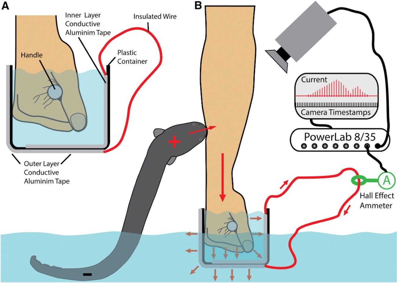 electric eel