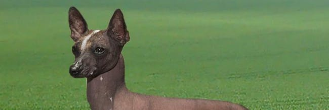 This photograph shows a toy xoloitzcuintlel, a dog breed that likely descended from dogs that crossed the Bering Land Bridge with Native Americans Ancestors.