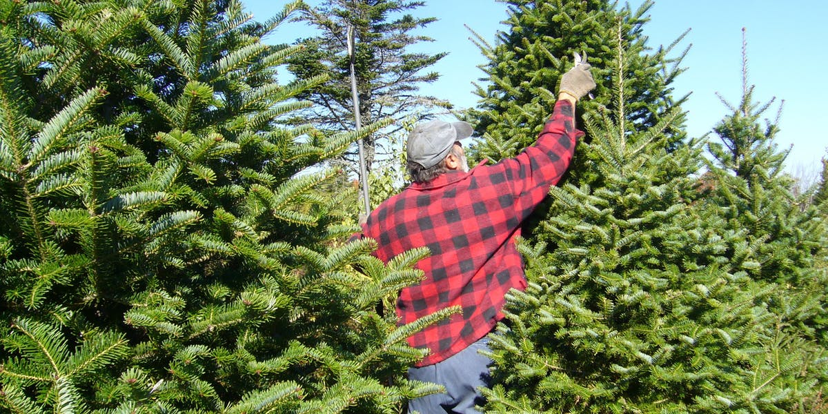 Christmas tree farm pruning.