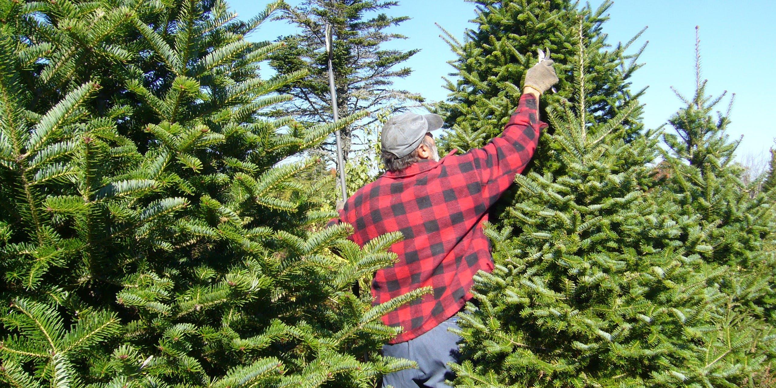 Christmas tree farm pruning.
