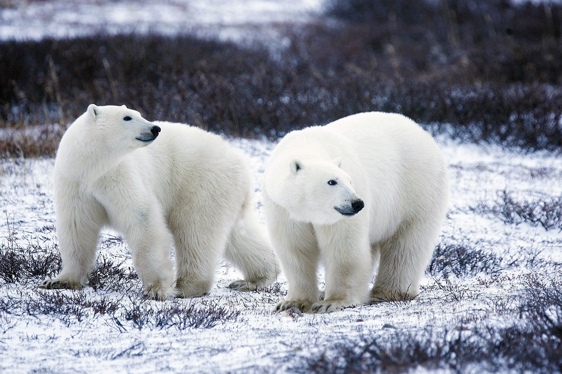 """Polar Bear """"Invasion"""" Is Just the Beginning of Climate Change Havoc"""