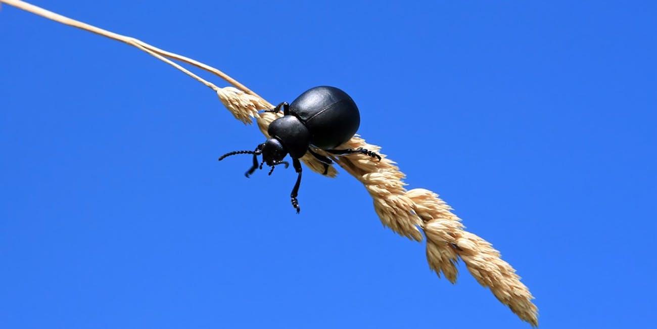 bug wheat