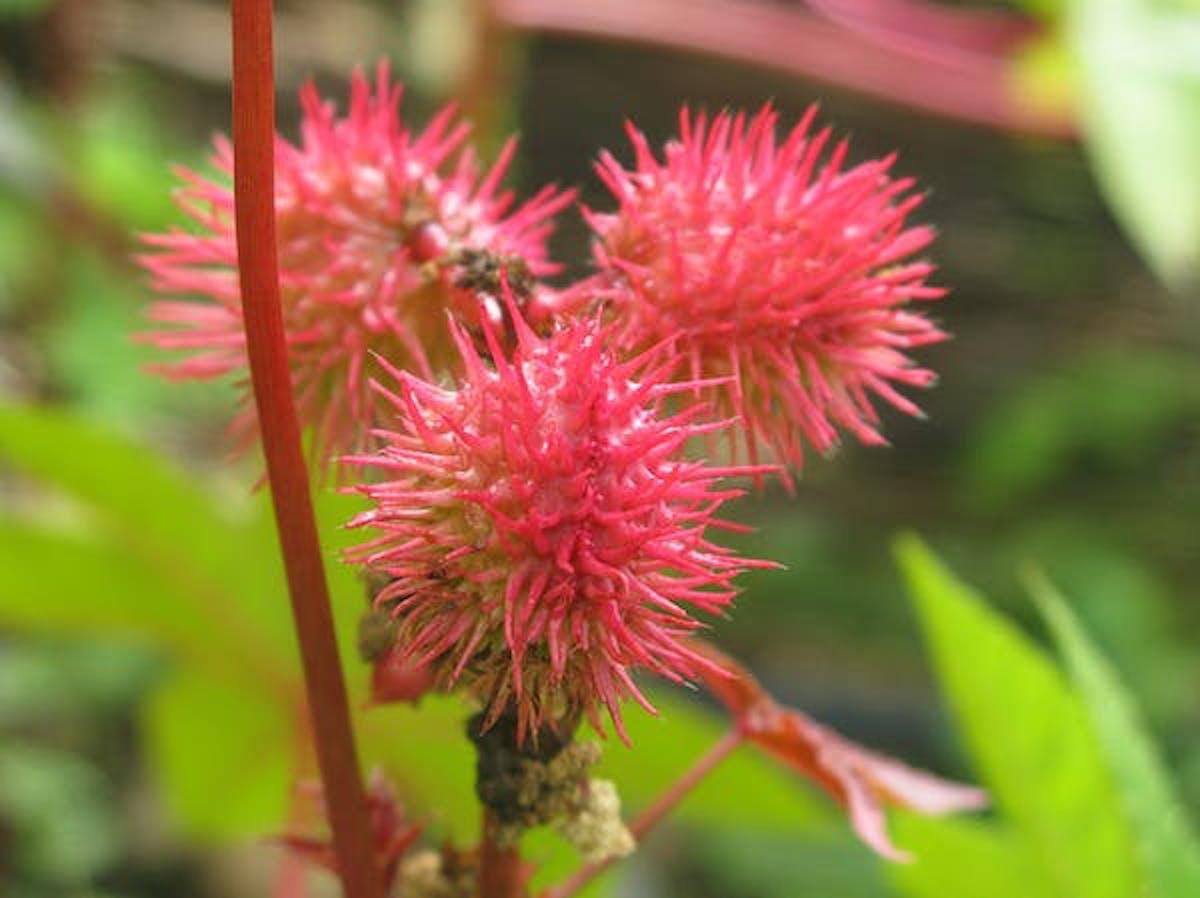 Ricinus communis: find ricin here.