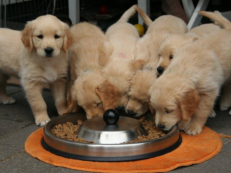 dogs eating vegan diet