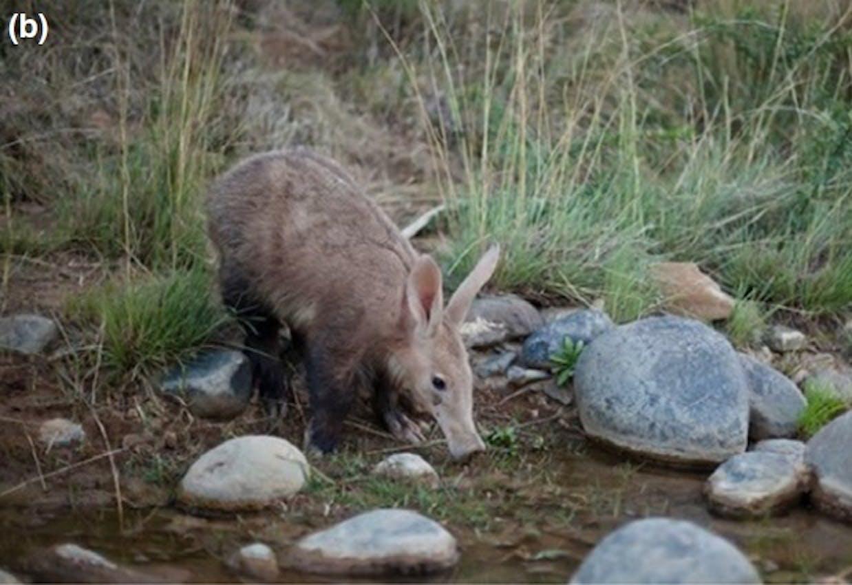 aadvark drinking water drink